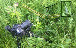 Mijn camera op statief in het gras waar zich een waterjuffer schuilhoudt. Bamboestokjes duwen grassprieten opzij die in de weg zitten. De waterjuffer staat uitvergroot op de foto omdat ze anders quasi niet te zien is.