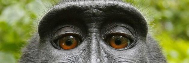 Beroemde apenselfie als 3D print