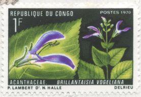 Congo - Brillantaisia vogeliana
