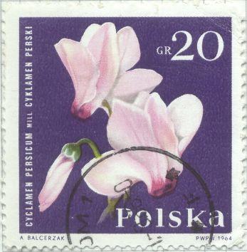 Poland - Cyclamen persicum, Persian Cyclamen