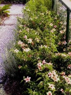 Philip Island hibiscus hedge, Hibiscus insularis in flower July '05.