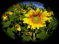 Sunflowers improving the soil.
