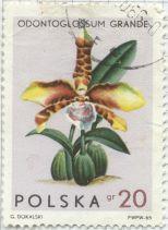 Poland - Rossioglossum grande, Tiger orchid