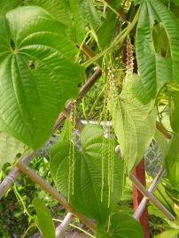aerial potato or yam Dioscorea bulbifera