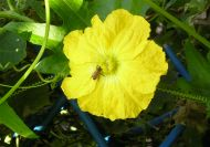 honeybee, Apis mellifera, pollenates Luffa cylindrica