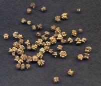 Mangelwurzel Beta vulgaris Crassa Group
