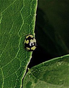 Mildew eating ladybird lleis galbula - forage on mildew-affected roses and Cucurbitaceae