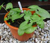 My seedlings of Good King Henry, aka Lincolnshire spinach (Chenopodium bonus-henricus) in May before planting out.