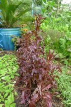 Lettuce, Lactuca sativa 'Purple Royal Oakleaf'
