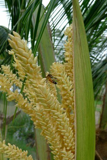 Giant honeybee, Apis dorsata, pollinates coconut, Cocos nucifera