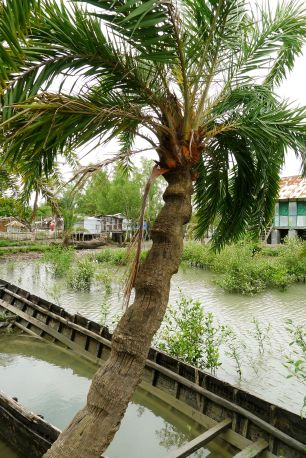 Sap from the mangrove date palm, Phoenix paludosa, is used to make sugar. Buri Golani, Bangladesh
