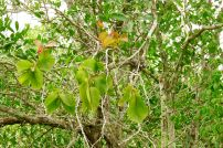 Mistletoe on mangrove, Sundarban National Park, Bangladesh