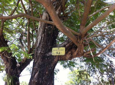 This mature Yellow poinciana (Peltophorum pterocarpum), is a protected specimen. Boroko