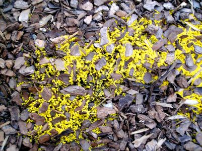 Soft, moist and streaming to meet its destiny: Fuligo septica, dog's vomit slime mould
