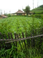 It's cool and damp in the highlands at Cemoro Lawang. Here people grow cool climate crops, like cabbage and orach (aka mountain spinach, Atriplex hortensis).