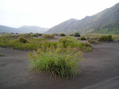 Flowering clump of sedge (Cyperus sp.) in the Tengger Crater.