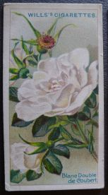 Rose, Blanc Double de Coubert