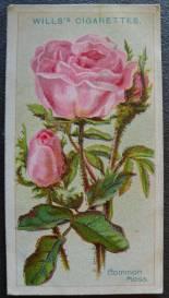 Rose, Common Moss