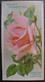 Rose, Grand Duc Adolphe de Luxumbourg, Hybrid Tea