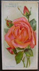 Rose, 'Lyon Rose', Hybrid Tea