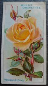 Rose, Marquise de Sinety, Hybrid Tea