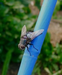 Blue rutilia (Rutilia simplex). This Tachinid fly parasitises curl grubs (scarab beetle larvae) which live underground, feeding on crop roots.