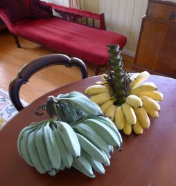 Banana, Musa x sapientum 'Dwarf Ducasse' and 'Java Blue'