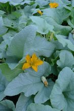 Pumpkin, Cucurbita maxima 'Tonda Padana' a heritage Italian cultivar. Leaves and flowers are edible.