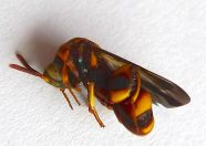 Species 379 recorded at Bellis: Leucospis sp.