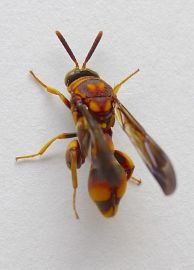 New to science? A parasitic Leucospis wasp