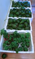 Sharing the surplus: my neighbours Chas & Gail gave away excess avocados and basil seedlings