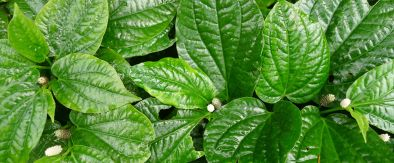 Chaplu (Piper sarmentosum), a tropical, evergreen, ground-covering spinach was very popular