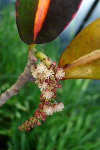 Codiaeum variegatum, croton, a month early