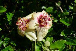 Hibiscus insularis - flowering on time