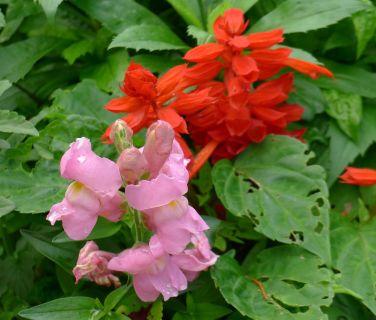 Salvia x splendens and Antirrhinum flowering on time