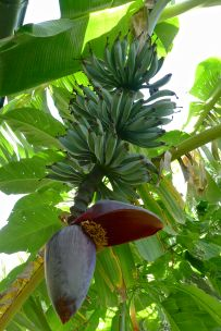 winter fruit developing on 'Java Blue' banana