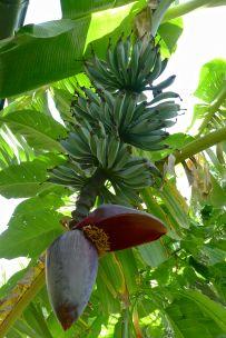winter fruit developing on 'Java Blue' banana