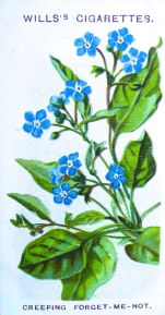 Creeping forget me not, Omphalodes verna, Wills' Alpine Flowers, 1913