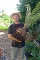 Cycad cutting, Encephalartos altensteinii, finally sprouts