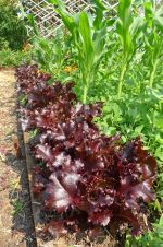 lettuce, Lactuca sativa 'Royal Purple Oak Leaf'