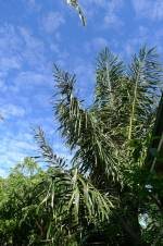 Sugar palm, Arenga pinnata