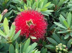 Callistemon 'Little John'