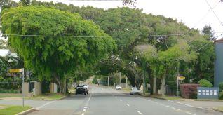 Green cathedral, Ficus benjamina