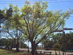 White Fig, Ficus virens, refoliating two weeks after leaf drop