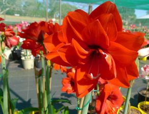 Hippeastrum Double Devil