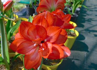 Hippeastrum Home James