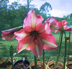 Hippeastrum Party Animal