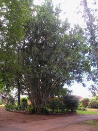 Macadamia integrifolia