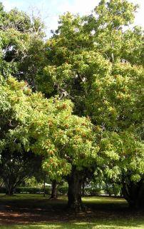 Foambark, Jagera pseudorhus