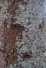 Bunya pine bark